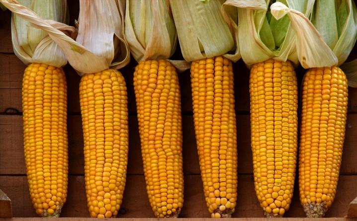 dent corn row.png
